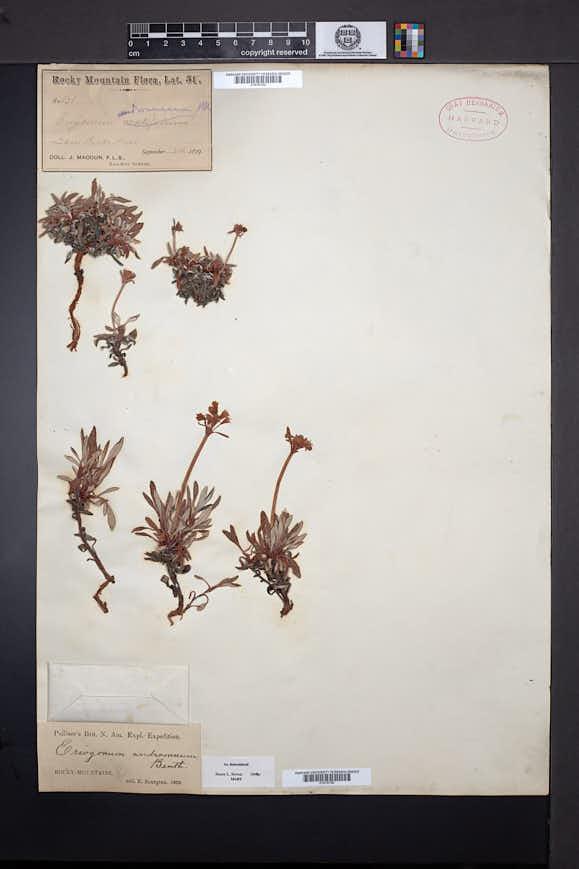Eriogonum androsaceum image