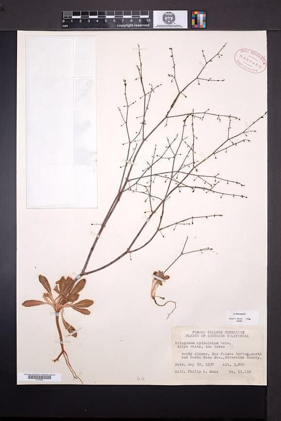 Eriogonum apiculatum image