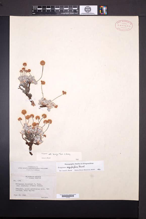 Eriogonum argophyllum image
