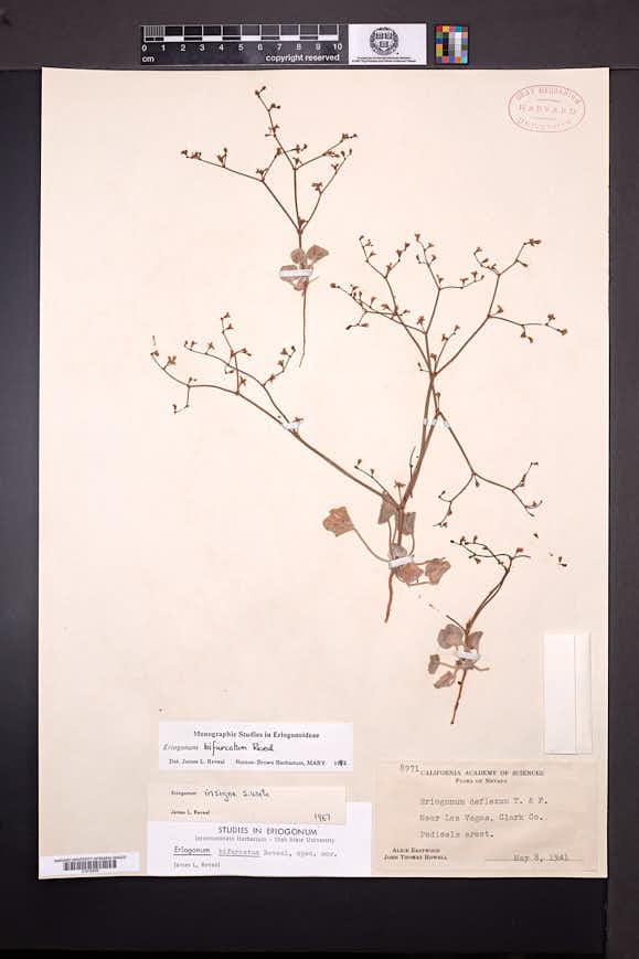 Eriogonum bifurcatum image