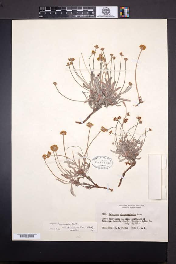 Eriogonum brevicaule var. laxifolium image