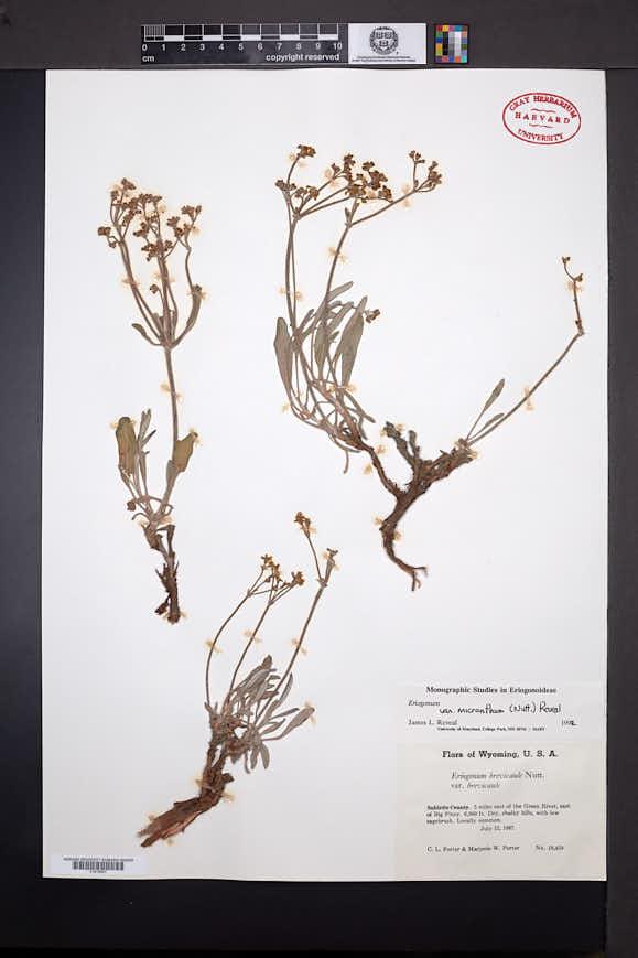 Eriogonum brevicaule var. micranthum image