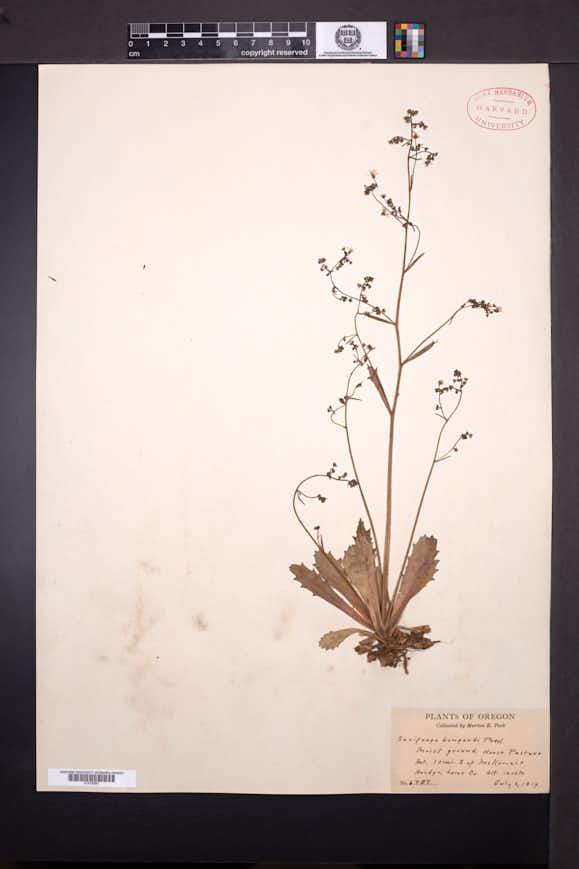 Saxifraga bongardi image