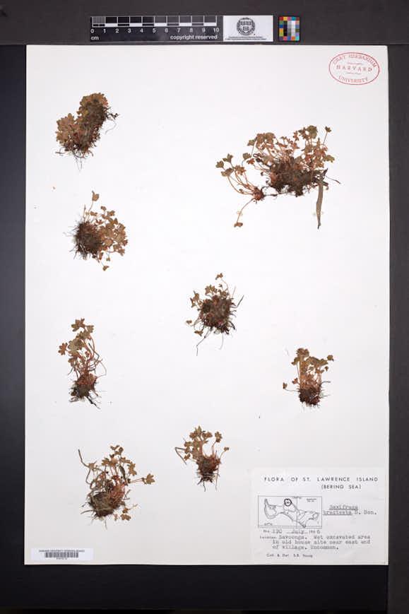 Image of Saxifraga bracteata
