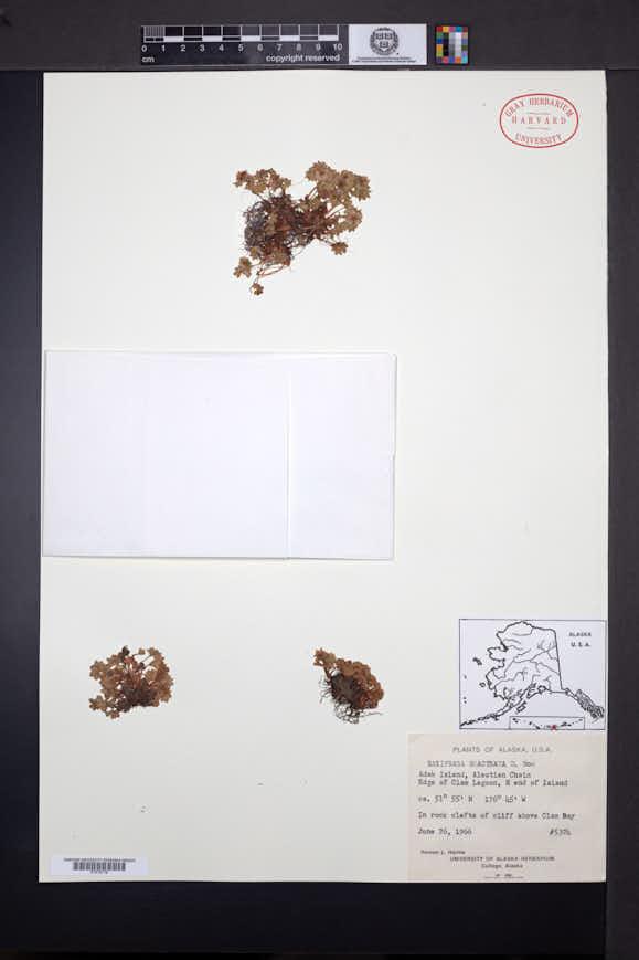 Saxifraga bracteata image