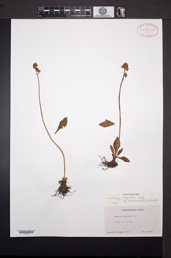 Saxifraga columbiana image