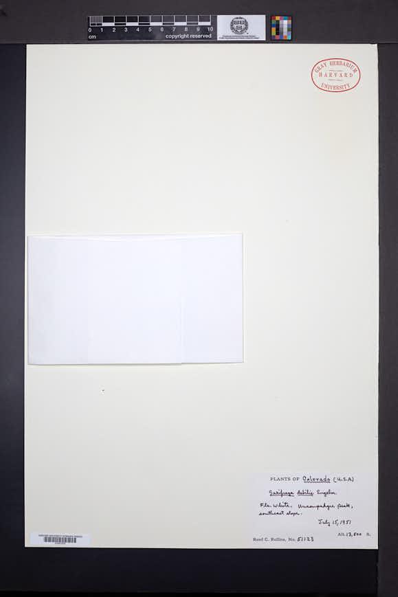 Saxifraga debilis image