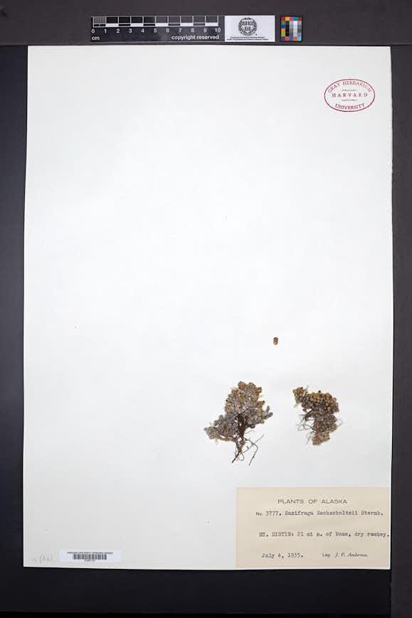 Saxifraga eschscholtzii image