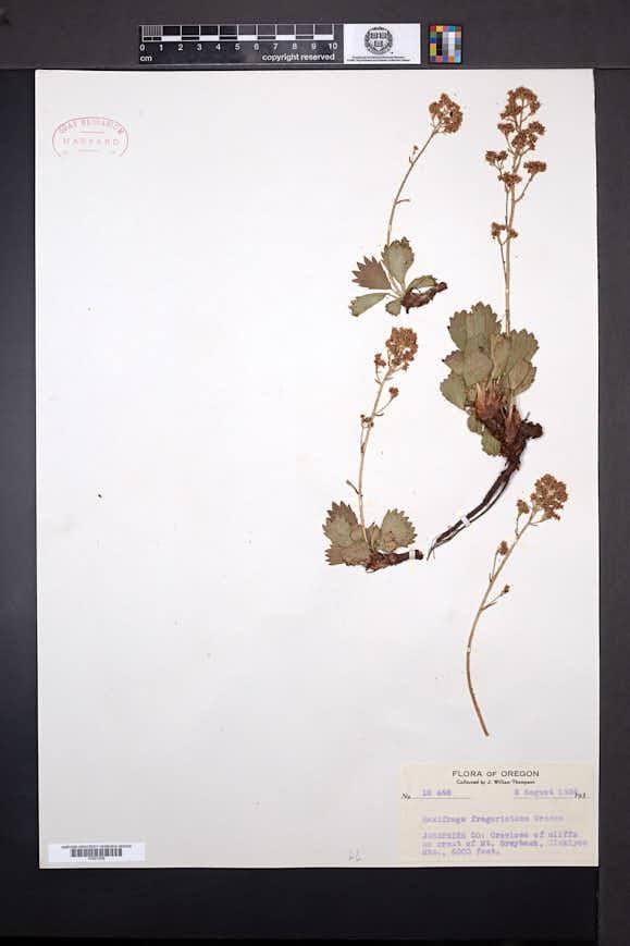 Saxifraga fragarioides image