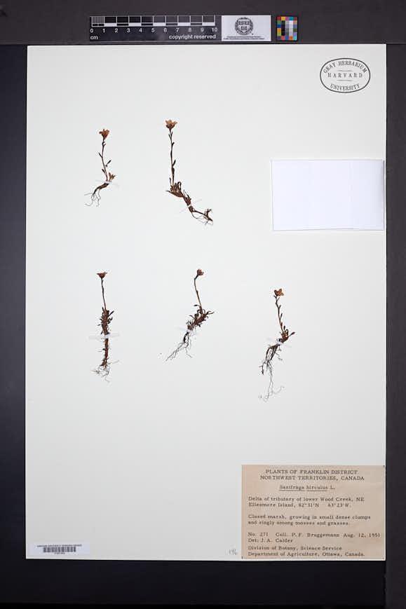 Saxifraga hirculus image