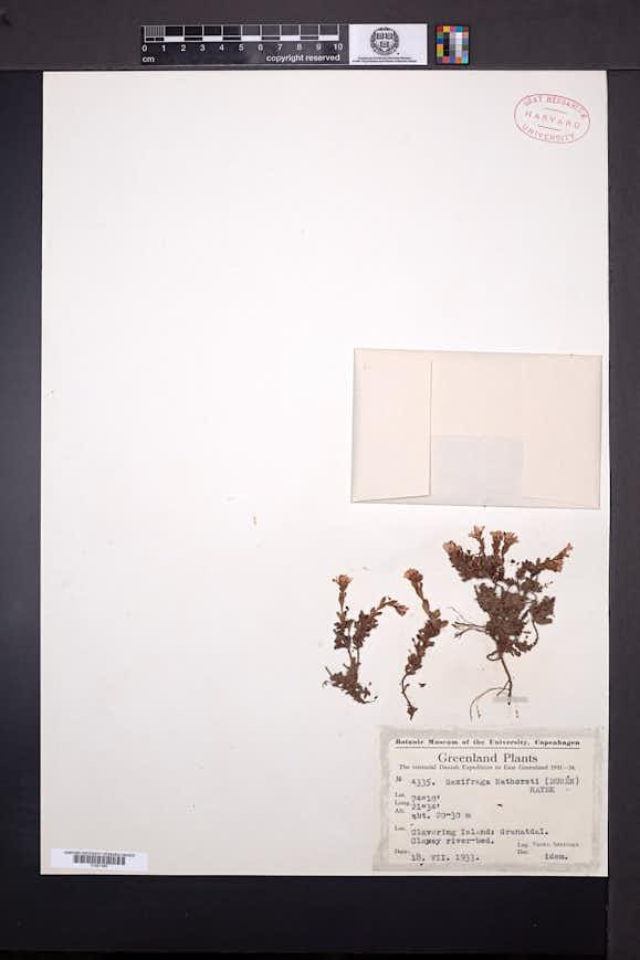 Image of Saxifraga nathorstii
