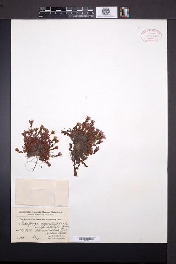 Saxifraga nathorstii image