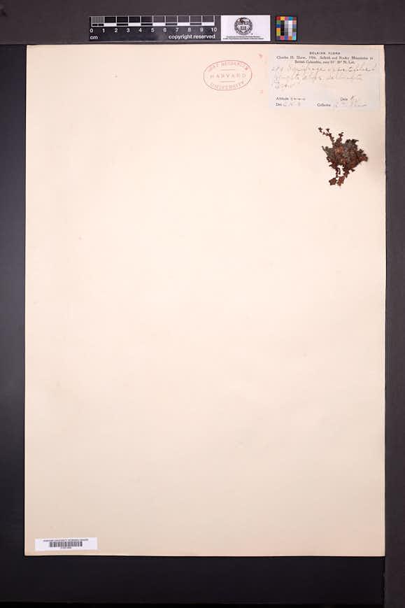 Saxifraga oppositifolia image