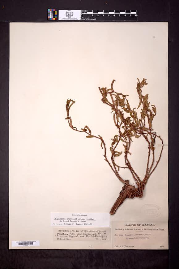 Calylophus hartwegii subsp. fendleri image