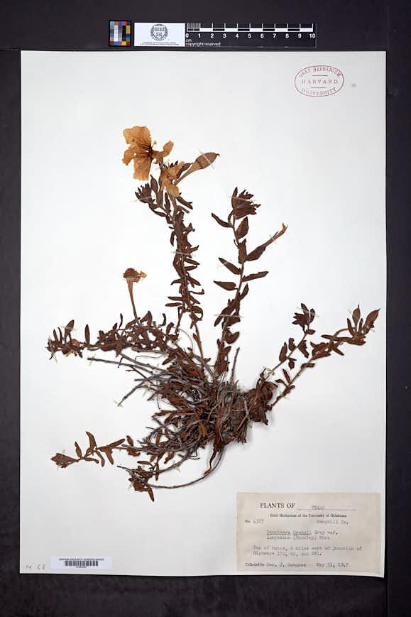 Calylophus hartwegii subsp. pubescens image