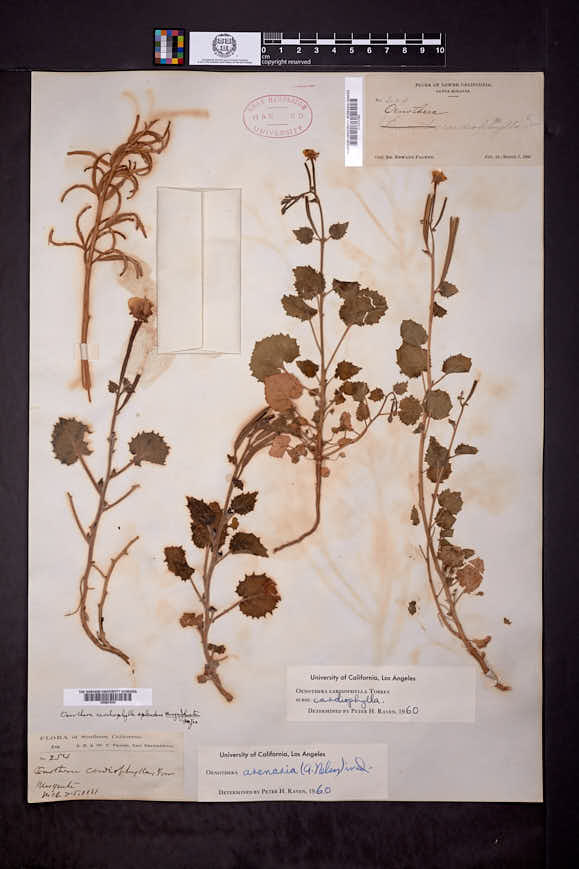 Chylismia arenaria image