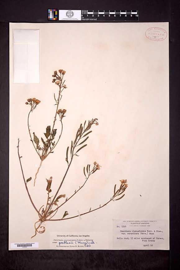 Chylismia claviformis subsp. peeblesii image