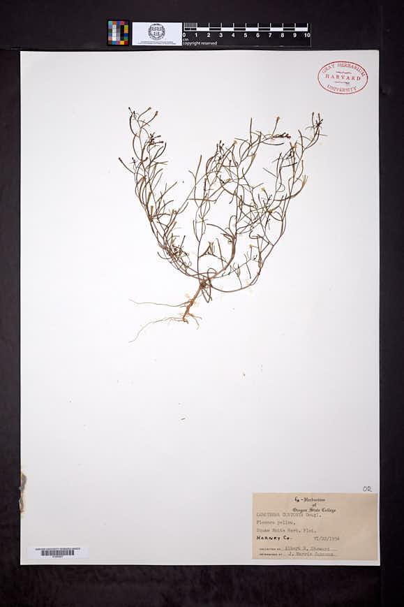 Camissonia contorta image