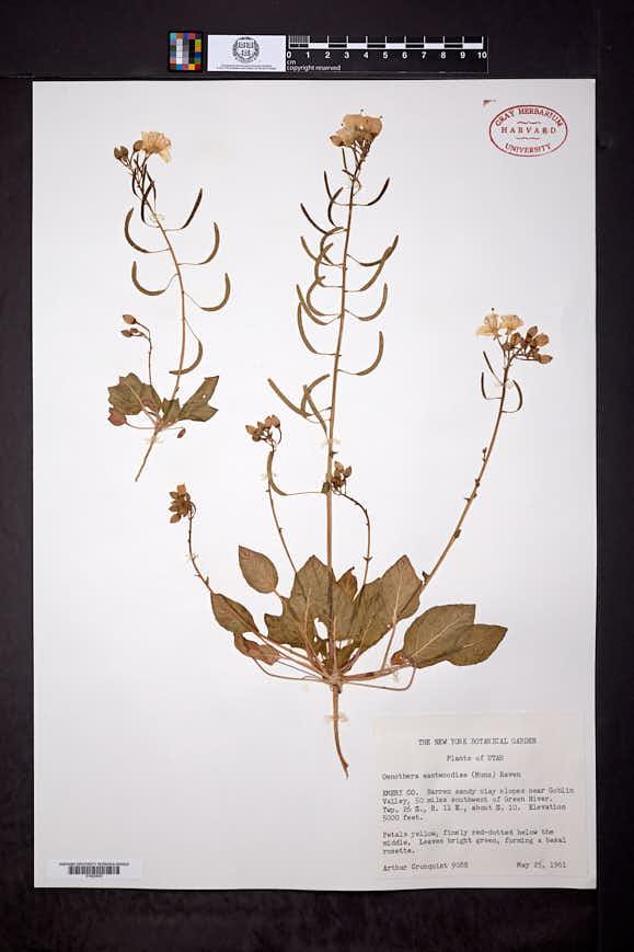 Camissonia eastwoodiae image