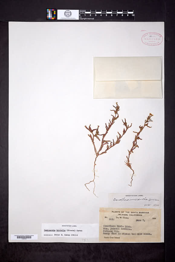 Camissonia hirtella image