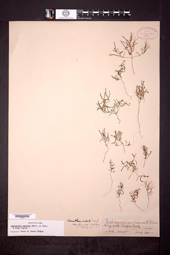 Camissonia parvula image