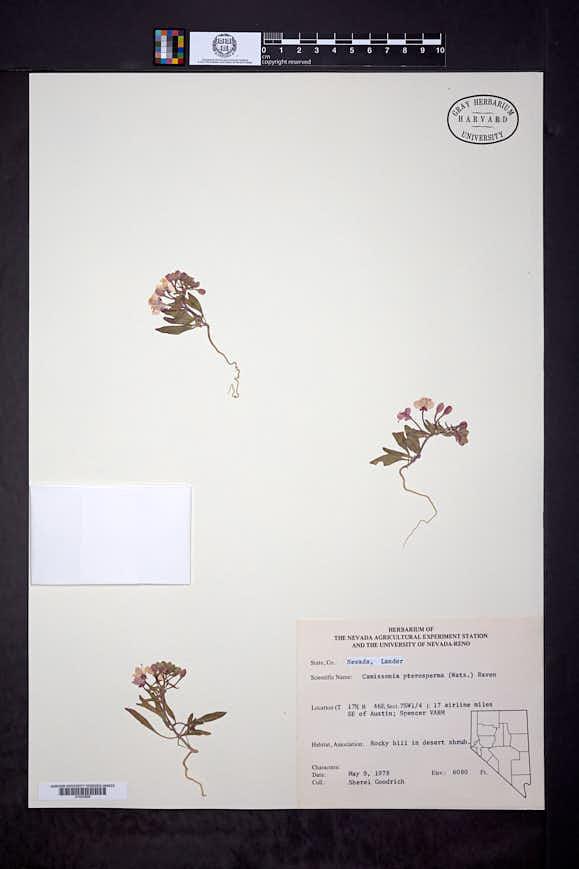 Chylismiella pterosperma image