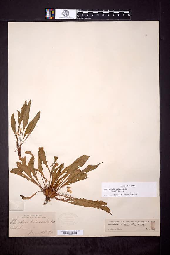 Taraxia subacaulis image