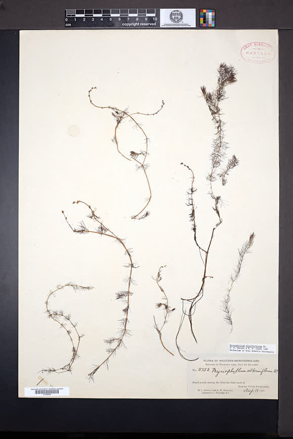 Myriophyllum alterniflorum image