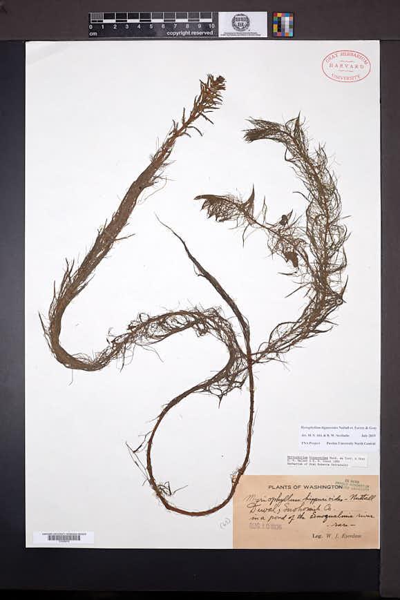 Myriophyllum hippuroides image