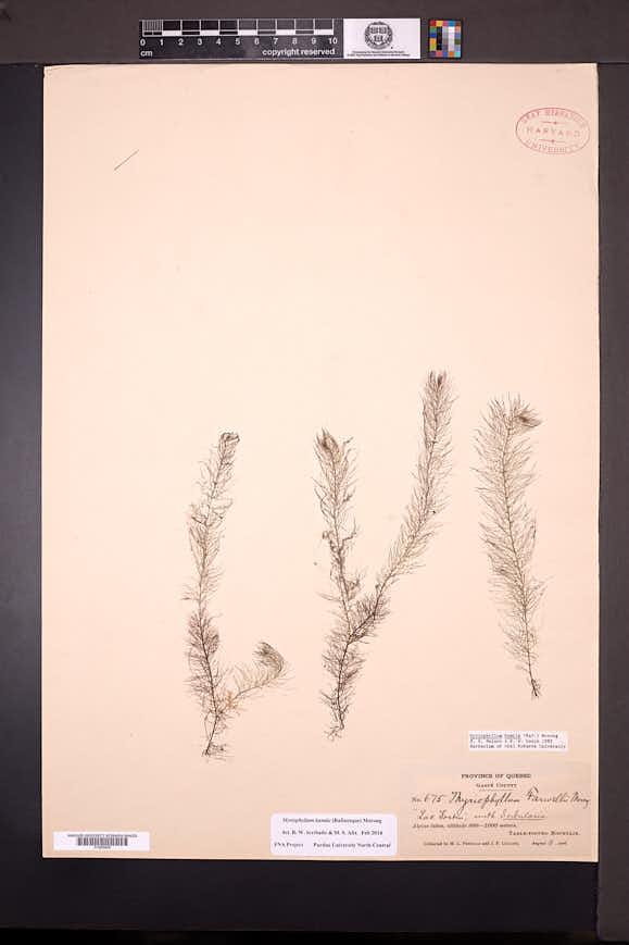 Myriophyllum humile image