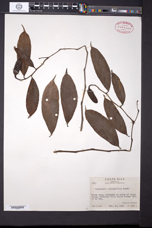 Heteropsis oblongifolia image