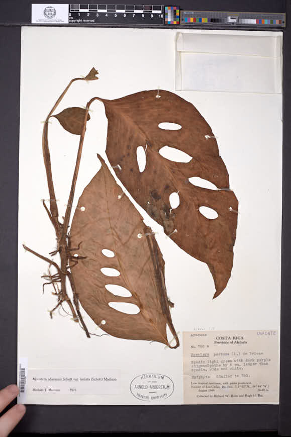 Monstera adansonii image