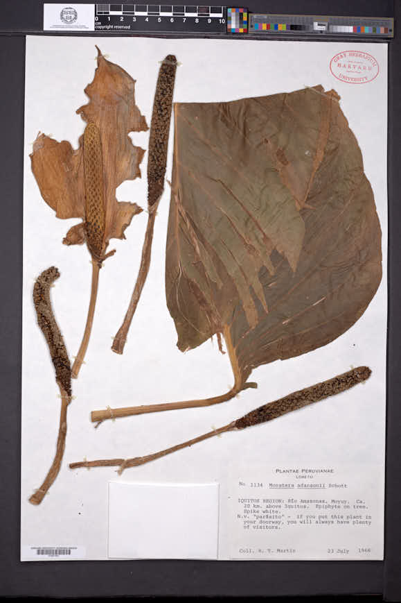 Monstera adansonii image