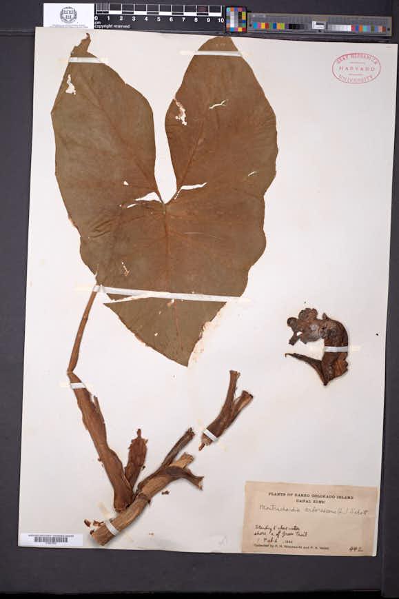 Montrichardia arborescens image