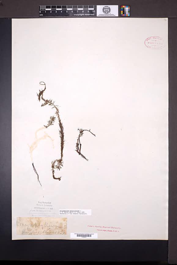 Myriophyllum verticillatum image