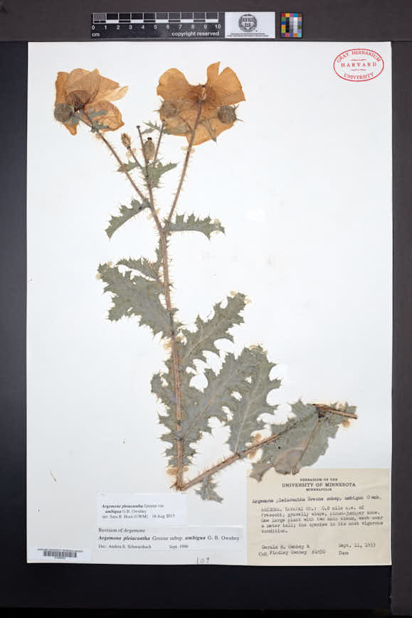 Argemone pleiacantha subsp. ambigua image