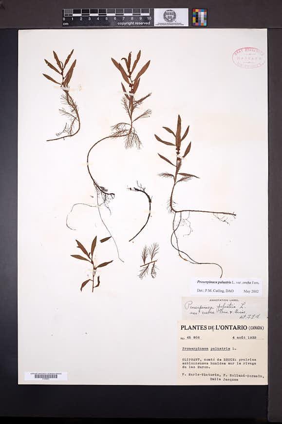 Proserpinaca palustris image