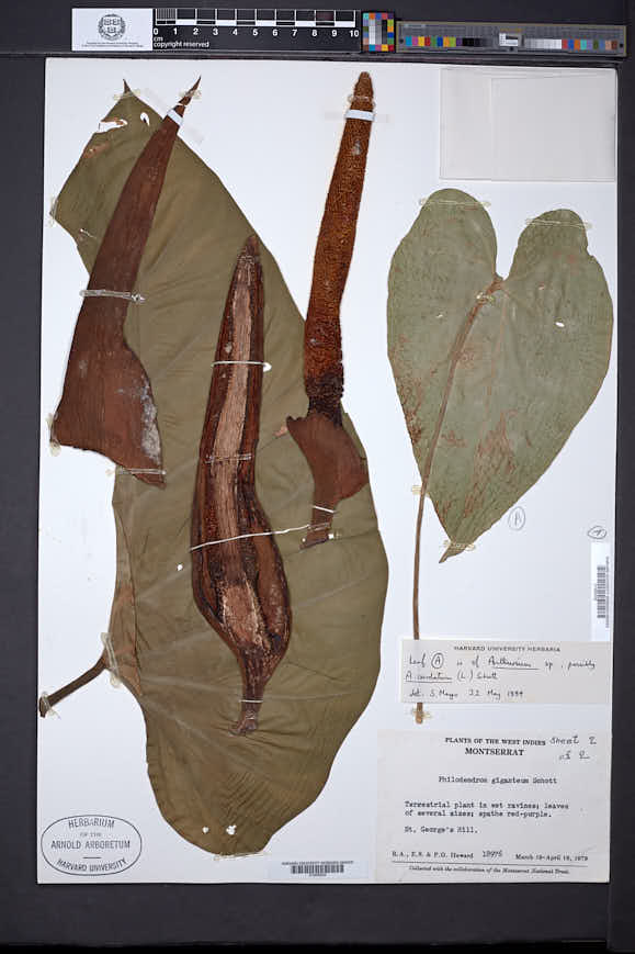 Philodendron giganteum image