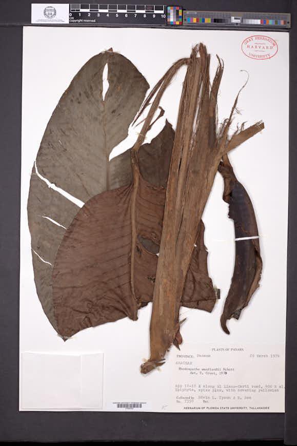 Rhodospatha wendlandii image
