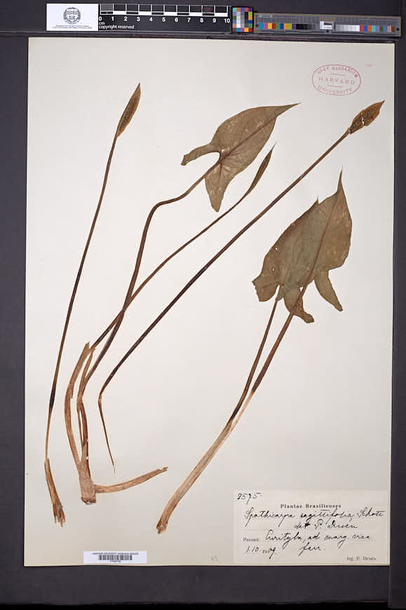 Spathicarpa sagittifolia image