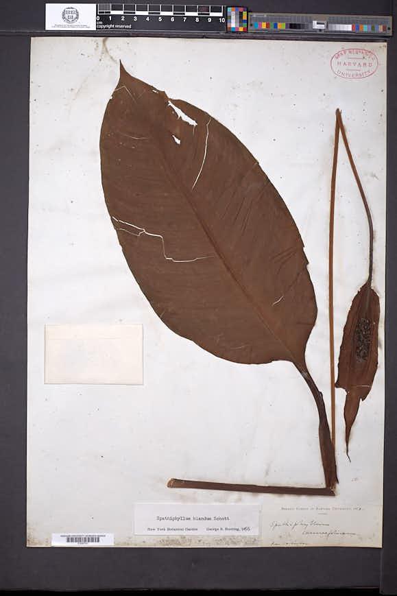 Image of Spathiphyllum blandum