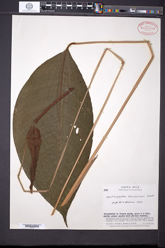 Image of Spathiphyllum fulvovirens
