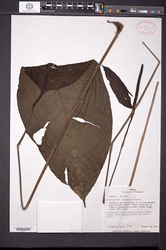 Spathiphyllum fulvovirens image