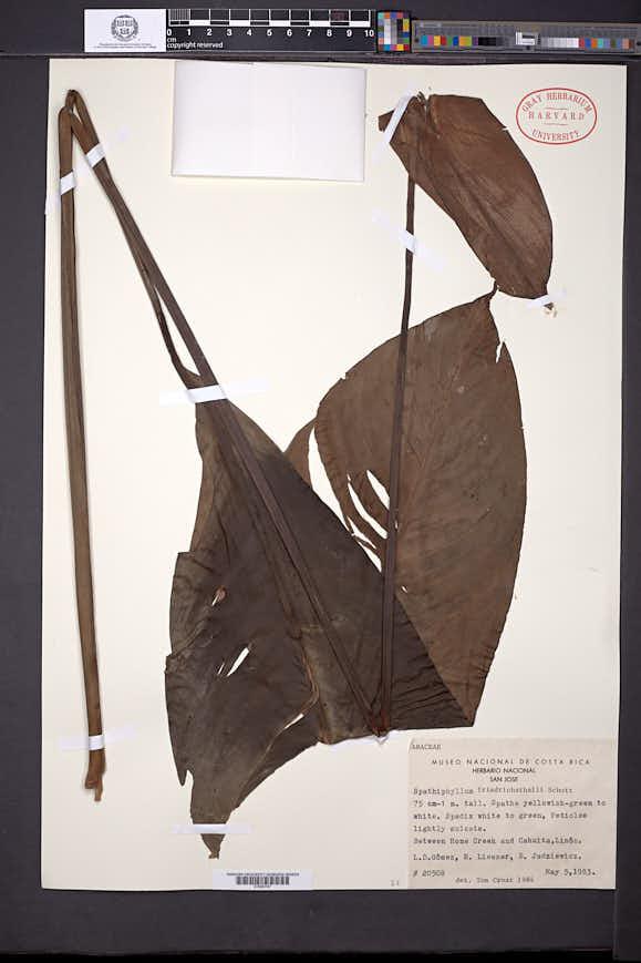 Spathiphyllum friedrichsthalii image
