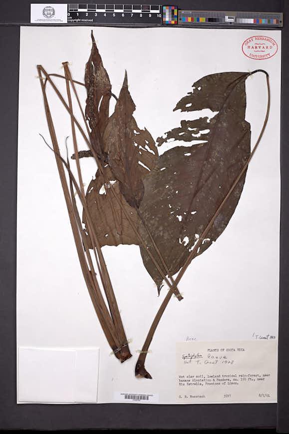 Spathiphyllum laeve image
