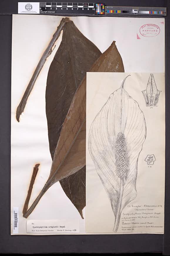 Image of Spathiphyllum ortgiesii