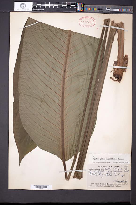 Spathiphyllum phryniifolium image