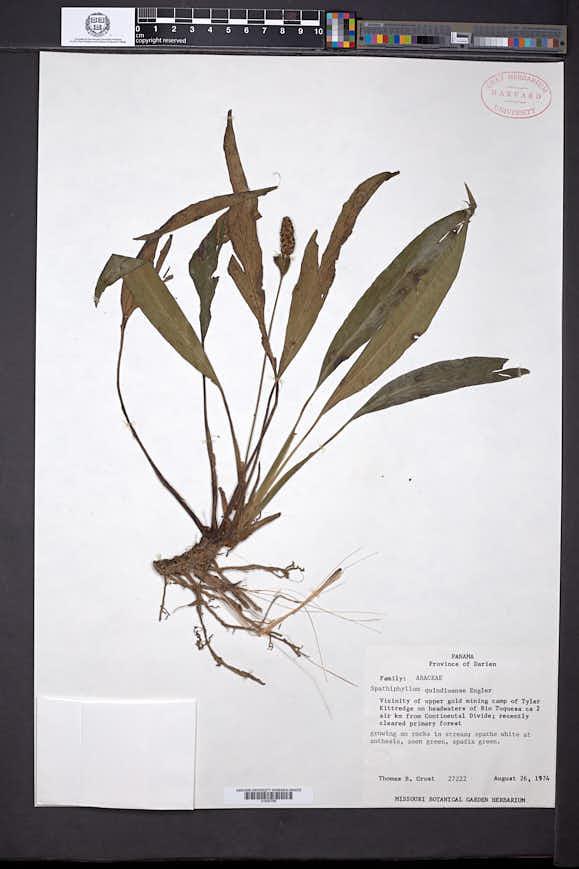 Image of Spathiphyllum quindiuense