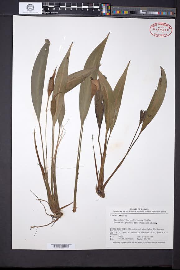 Spathiphyllum quindiuense image