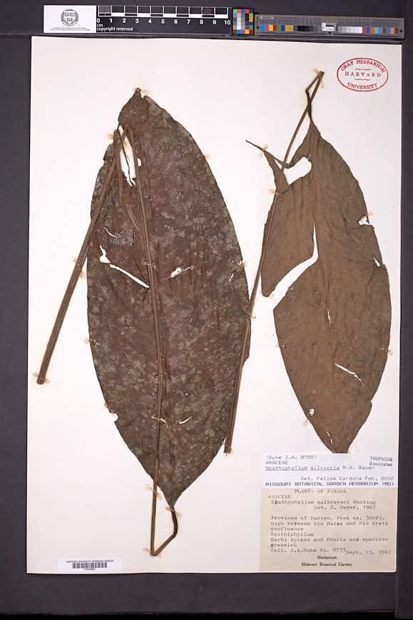 Image of Spathiphyllum silvicola